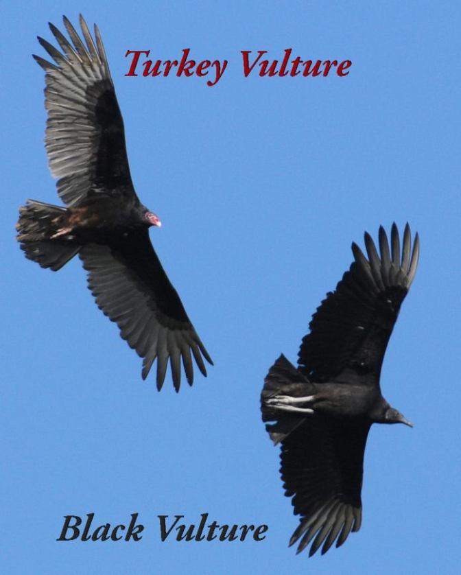 Rick_Vultures